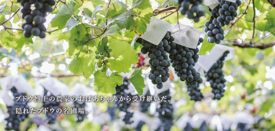ブドウ博士の農家のおばあちゃんから受け継いだ、隠れたブドウの名圃場。